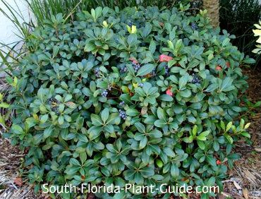 indian shrubs names pictures pdf