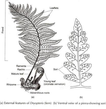fern and rhizome drawing b  w