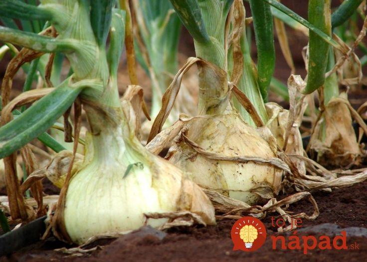 Chystáte sa pestovať cibuľu a chcete sa tešiť z bohatej a zdravej úrody? Prinášame vám 9 tajomstiev skúsených záhradkárov, ktoré by ste rozhodne mali poznať.