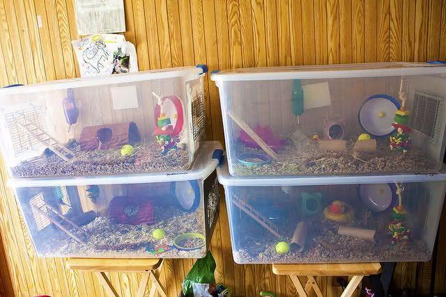 Diy dwarf hamster cages pets pinterest dwarf hamster for Where to get c c cages