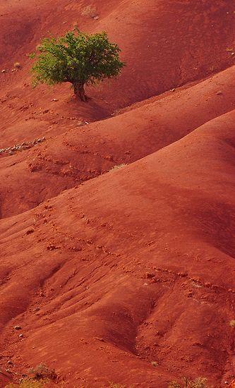 Argán en rojo / Árbol de argán en rojo