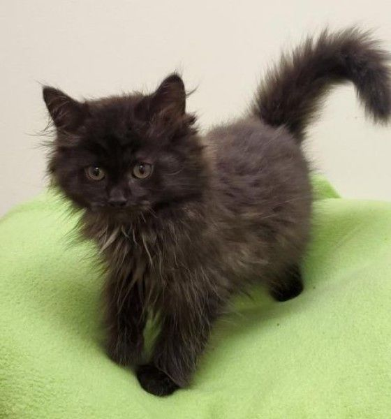 Domestic Short Hair Cat For Adoption In Fremont Ohio Eclipse In Fremont Ohio Cat Adoption Domestic Short Hair Cats