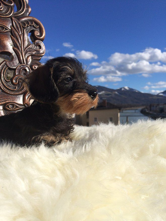 Willow Springs Miniature Wirehaired Dachshunds