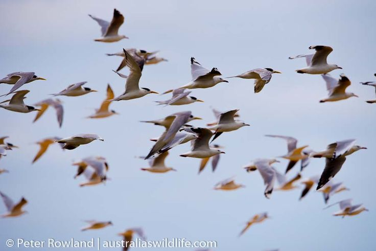A mixed #flock of #Gulls & #Terns #aus_wildlife