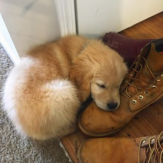 This pup who'd rather lay his head on a shoe than chew it up: | 23 Golden Retriever Puppies That'll Remind You There Are Still Good Things In This World