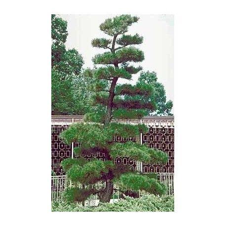 venta de semillas de Pinus Thunbergii el pino negro japones para comprar desde semilla y sembrar bonsai pinos raros exoticos japoneses