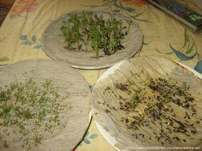 КАК У МЕНЯ ПРОРАСТАЮТ СЕМЕНА. Очень интересный подход проращивания семян. Обсуждение на LiveInternet - Российский Сервис Онлайн-Дневников
