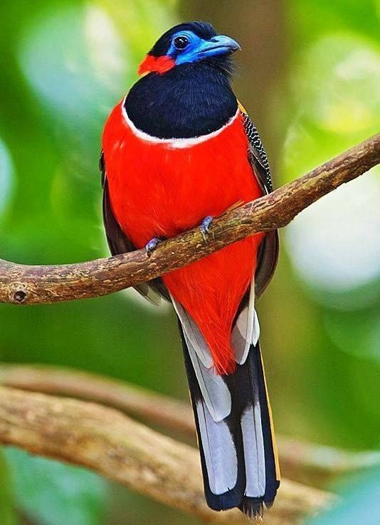 Red-Naped Trogon                                                                                                                                                     More