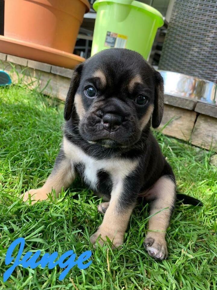 Puggle F2 Welpen Beagle Mops In Bayern Lindau Mops Beagle Welpen