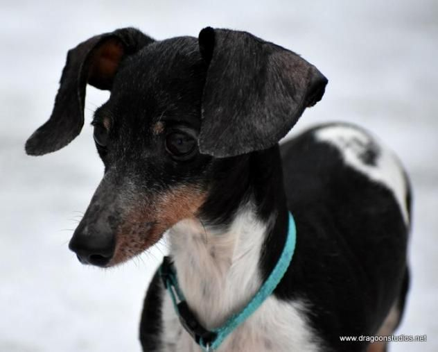 12-26-2016    #SENIOR   Meet TANK, 6 pds, 12 yrs, $250 fee, a Petfinder adoptable #Dachshund #Dog in #Spokane, #WA     Tank is a active, sweet boy. He does like laps but will rock and roll with any dogs too. He loves to burrow under covers which is why we think Tank has lost hair on his ears and belly.    No Cats   Contact: dragoonfr@hotmail.com    Petfinder.com