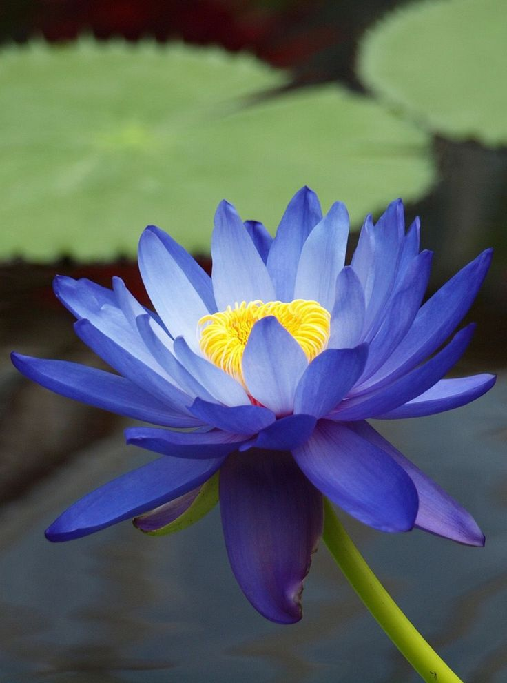 Nymphaea gigantea australian blue waterlily nymphaceae for Lotus plant for sale