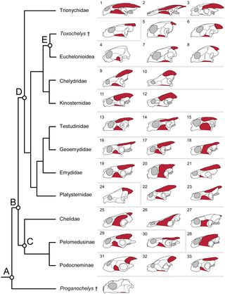 Background Sea turtles (Chelonoidea) are a charismatic group of marine reptiles that occupy a range of important ecological roles. However, the diversity and evolution of their feeding anatomy remain incompletely known.   Methodology/Principal Findings Using computed tomography and classical comparative anatomy we describe the cranial anatomy in two sea turtles, the loggerhead (Caretta caretta) and Kemp's ridley (Lepidochelys kempii), for a better understanding of sea turtle functional a...