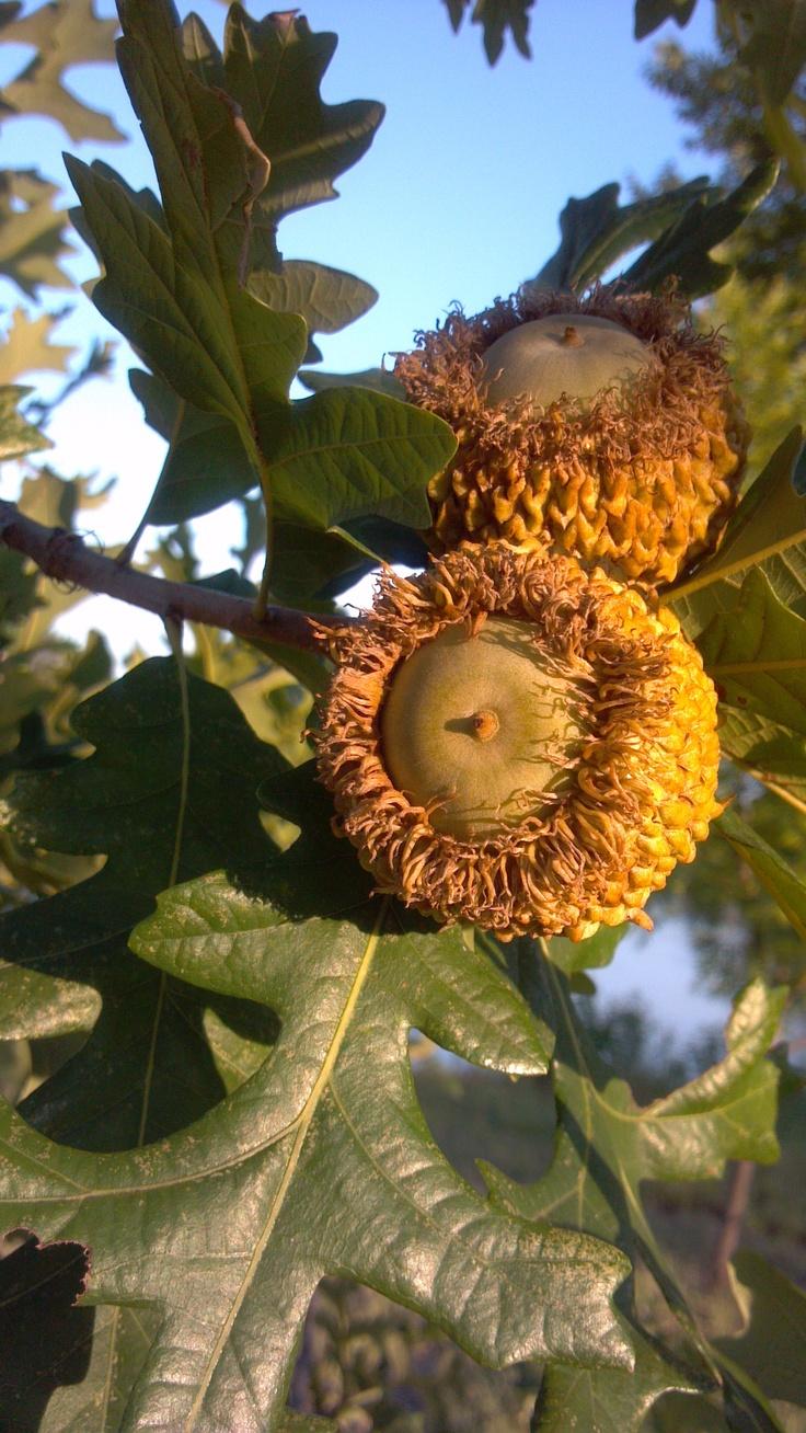 burr oak acorns Nature39s Beauty Pinterest Gardens