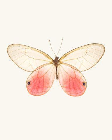 Cithaerias Aurorina / Pink Glasswing Butterfly.  Fine Art  Print by Allison Trentelman   rockytopstudio.com