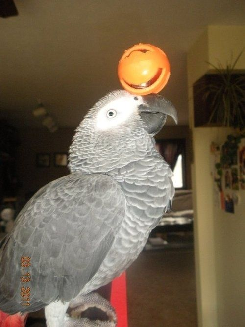 my pet bird parrot essay Parrots are birds of the order psittaciformes  ability to make sounds like human  voices and have plumages with bright colors, many species are kept as pets.