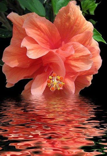 ღღ I love this photo.. The reflection of the color of the Hibiscus in the water. Would make a beautiful painting. ~~~ Hibiscus - Gorgeous Color