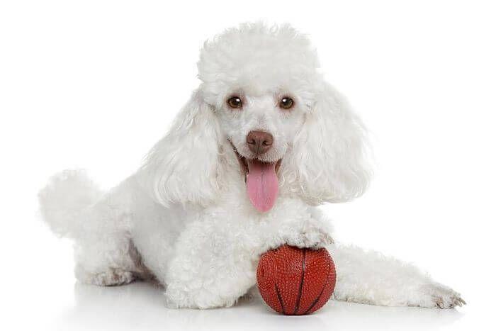 Resultado de imagen para perro pudul