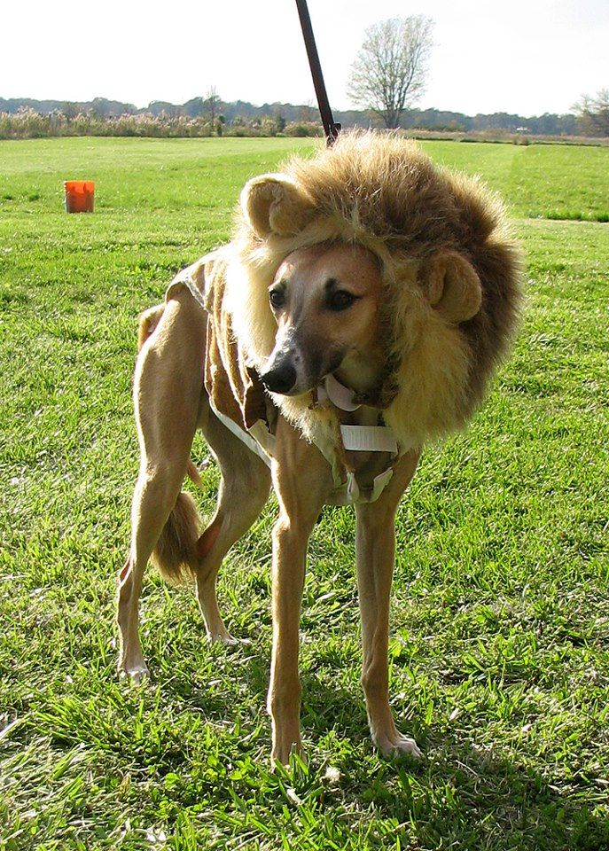 Whippet Lion Costume Because Why Not Amy S Bridal Shower