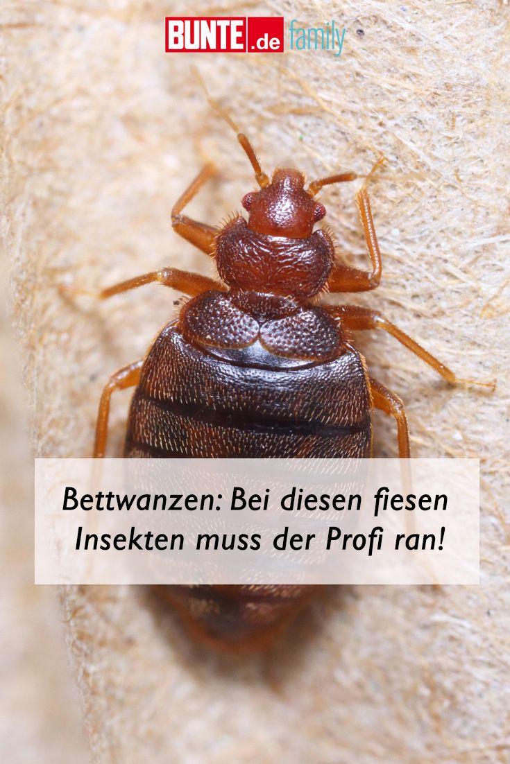 Bettwanzen Bisse Wie Man Die Blutsauger Im Bett Bekampft Bettwanzen Insekten Wanze