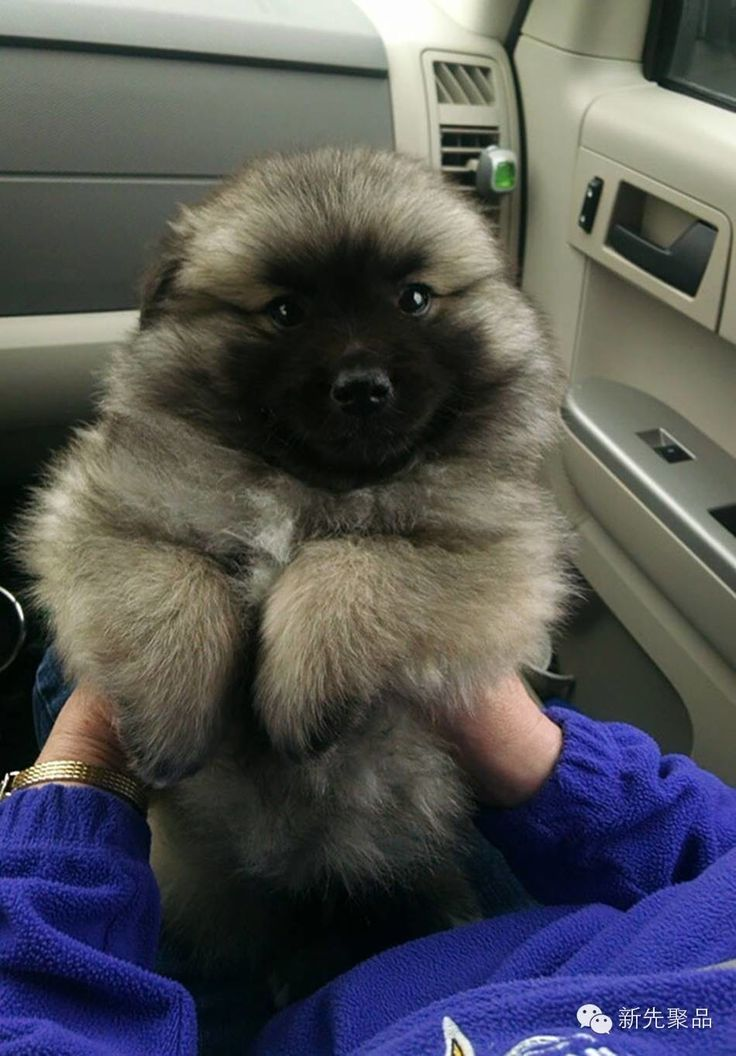 Must see Heavy Chubby Adorable Dog - c27461c4e21e2d29be8466b346728f27--chubby-puppies-fluffy-puppies  Pic_451397  .jpg