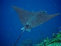 Reaching widths of nearly 11 feet (over 3 m), the Spotted Eagle Ray is one of the largest eagle rays, with only the mantas growing bigger. Spotted Eagle Rays, like all eagle rays, are active swimmers and do not lie motionless on the seafloor, like the closely related whiptail stingrays (e.g., Southern Stingray). They are foraging predators and are known to eat a variety of invertebrate and fish prey.