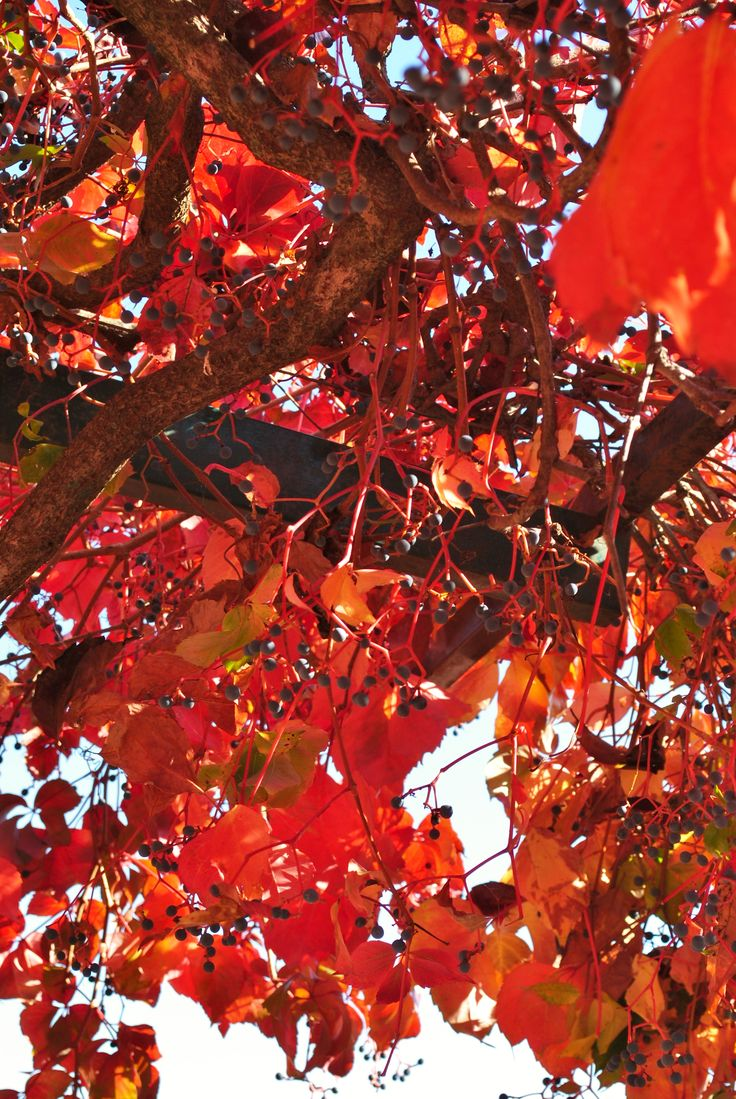 Nature can show extraordinary colors during the fall season! (Agriturismo Villa Clementina, CORI, LT - Italy)