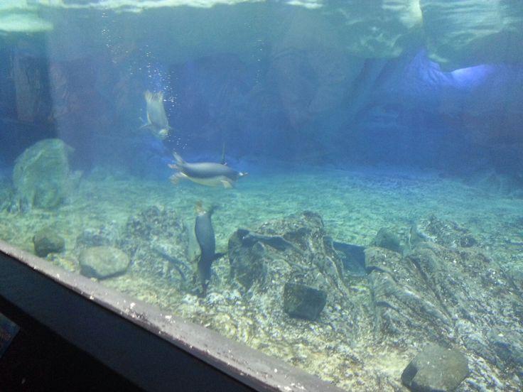 Penguins (seaworld)
