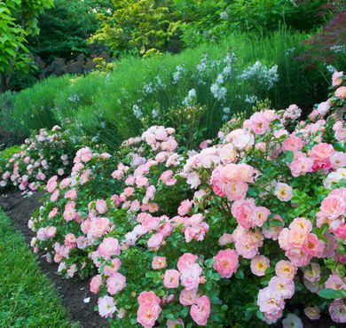 Peach Drift® Roses are perfect low growing shrubs for borders, edges or containers. Disease resistant and winter hardiness adds to their low maintenance charm.