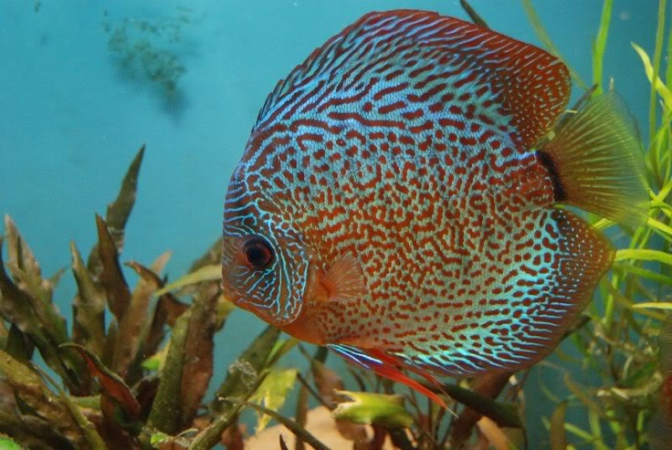 1000 images about discus on pinterest cobalt blue for Keeping discus fish