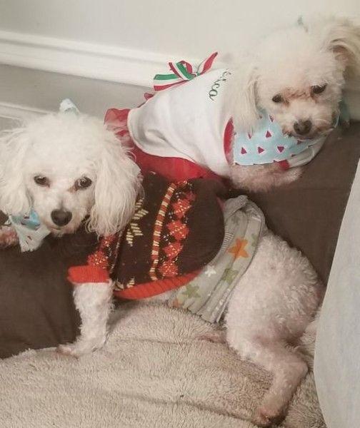 Luci Poodle Dog For Adoption In Dallas Texas Dog Adoption