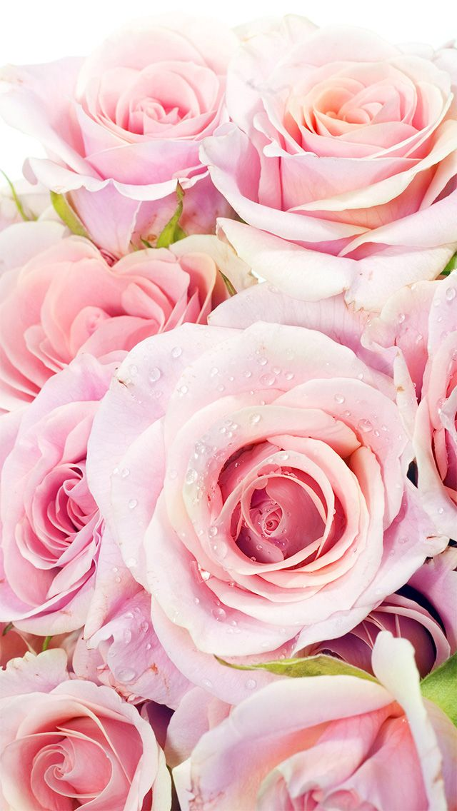 Fresh Pink Roses Flowers Closeup iPhone 5 Wallpaper
