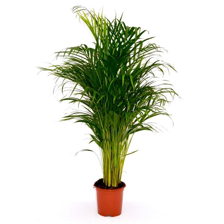 Areca Palm (Butterfly Palm) 19cm (With images) Areca