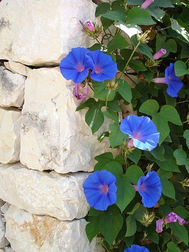 Morning glory (Ipomoea). Sure they're pretty, but having to chop them out of the corn crop as a kid kind of killed the romance for me. This is a pretty picture though! #gardenvinesmorningglories