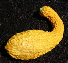 Crookneck Squash    A yellow squash with a thin curved neck; there are smooth-skin and and warty- skin varieties. Although they are summer squash, the taste is said to be more akin to winter squash.