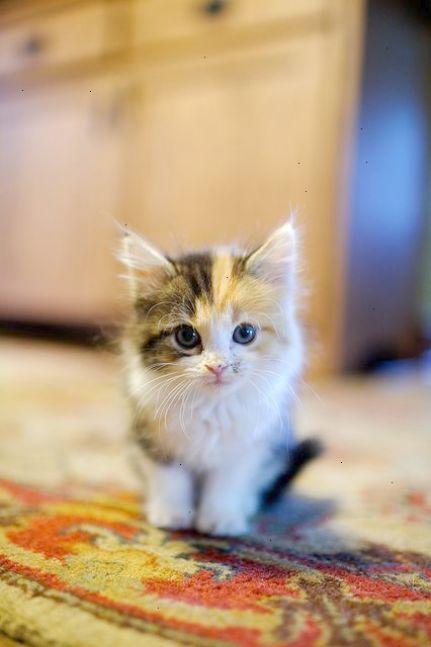 Sweet Little Calico Kitten Kittens Cutest Cats And Kittens Cute Cats
