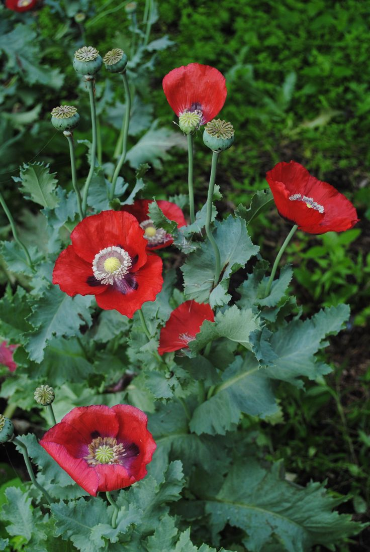 25+ best images about Poppies Pods & Opium on Pinterest ...