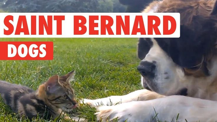 Breed All About It: St. Bernards