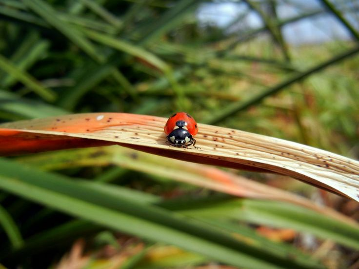 more of Ladybug on a blade of grass  http://earth66.com/macro/ladybug-blade-grass/