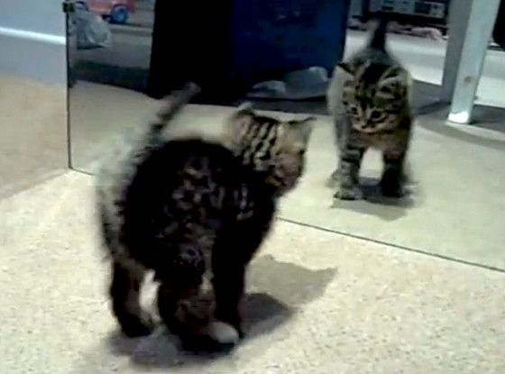 Adorable kitty is confused by his reflection in the mirror -- video is too die for! http://y94.com/blogs/the-morning-playhouse-blog/956/video-adorable-kitty-confused-by-relection/