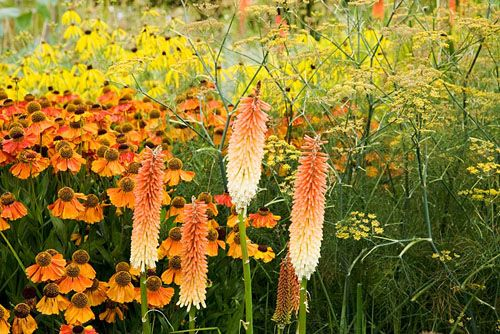 Kniphophia 'Tawny King', Helenium 'Sahin's Early Flowerer', Foeniculum vulgare, and yellow flowers of Ratibida pinnata. The Plant Specialist Nursery, Buckinghamshire - © Fiona McLeod/GAP Photos