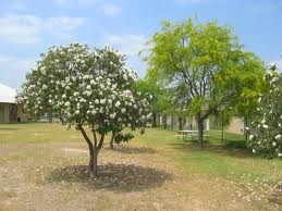 Mexican Olive Tree, Love the shape of this tree, but am not sure it would thrive north of San Antonio.