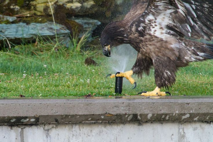 Baby Bald Eagle Discovers Sprinkler
