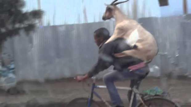 Έβγαλε βόλτα την κατσίκα του! (video) http://bit.ly/1gPFZYq