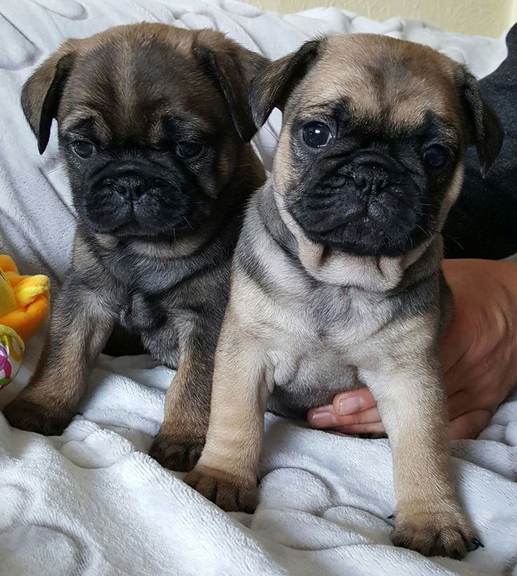 Due to excident we have beautiful Frug puppies. Fawn/sable. Our little puppies born and raising in our house with children and cats. Mum is Pug and Da...