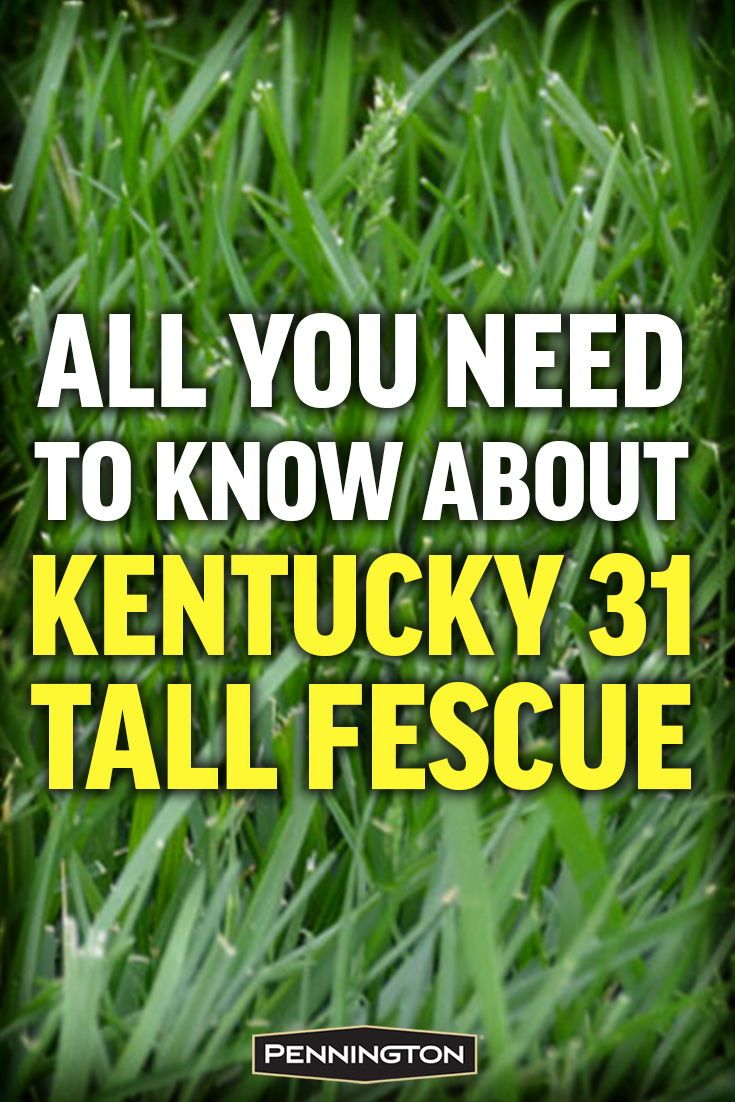 All You Need To Know About Kentucky 31 Tall Fescue Tall Fescue Fescue Tall Fescue Lawn