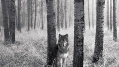 vlk černobílá tapeta