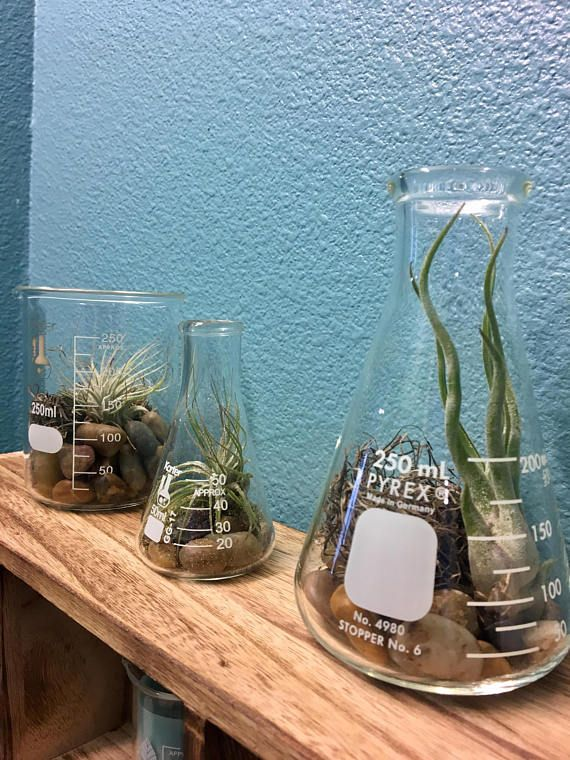 Science Themed LIVE Air Plant In Flask Or Beaker