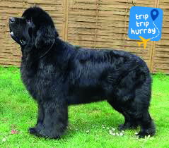 The Newfoundland is a sweet-dispositioned dog that acts neither dull nor ill-tempered. He is a devoted companion. The Newfoundland is a large, heavily coated, well balanced dog that is deep-bodied, heavily boned, muscular, and strong. A good specimen of the breed has dignity and proud head carriage.  More Info: http://www.akc.org/dog-breeds/newfoundland/