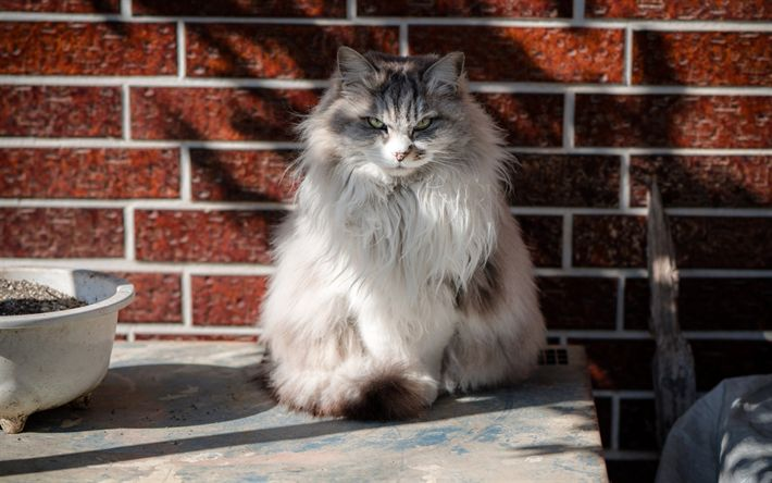 Download wallpapers Norwegian Forest cat, fluffy cat, gray cat, pets, breed fluffy cats