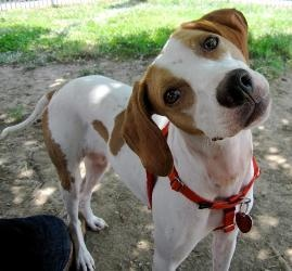 Nyla is an adoptable English Pointer Dog in Raleigh, NC.